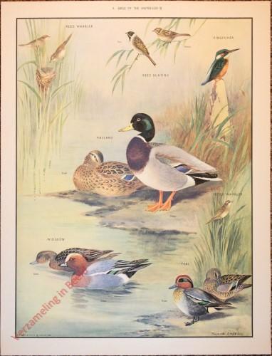 BRIDS - 9 - Birds of the waterside - II