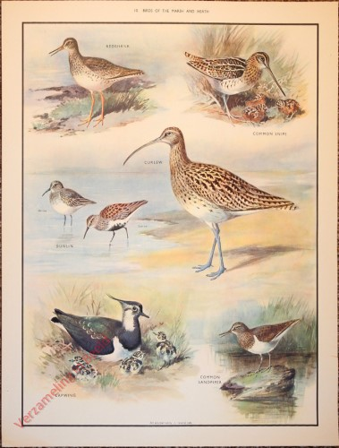 BRIDS - 10 - Birds of the marsh and heath