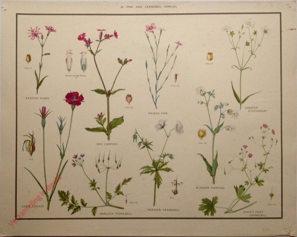WILD FLOWERS - 24 - Pink and cranesbill families