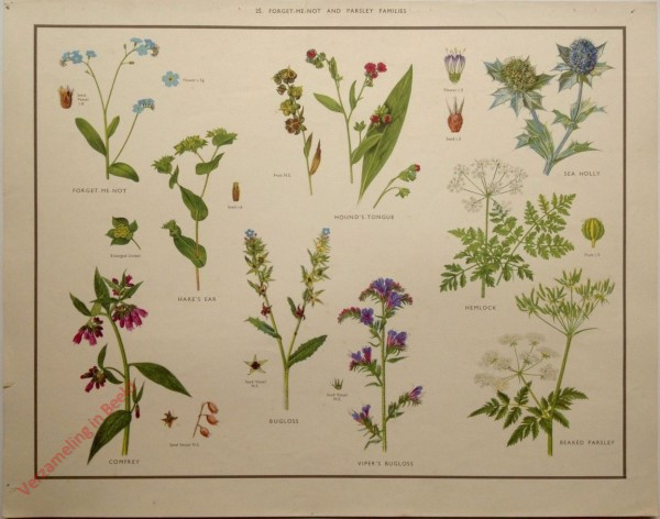 WILD FLOWERS - 25 - Forget-me-not and parsley families