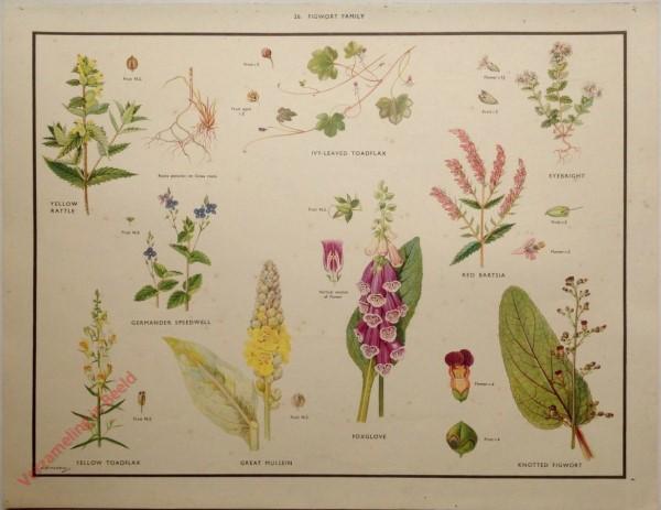 WILD FLOWERS - 26 - Figwort family