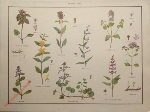 WILD FLOWERS - 28 - Mint family