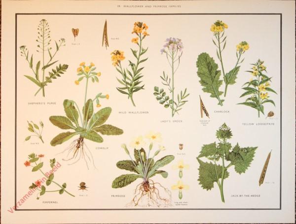WILD FLOWERS - 29 - Wallflower and primrose families