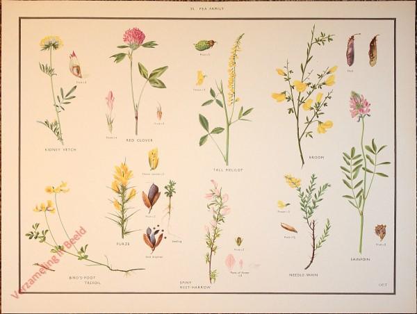WILD FLOWERS - 30 - Pea family