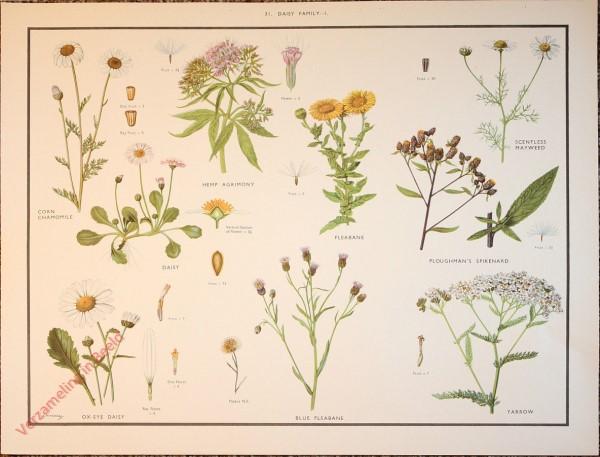 WILD FLOWERS - 31 - Daisy family - I