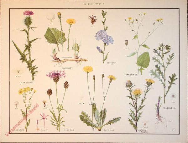 WILD FLOWERS - 32 - Daisy family - II