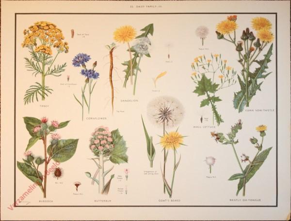 WILD FLOWERS - 33 - Daisy family - III