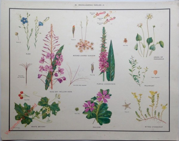 WILD FLOWERS - 35 - Miscellaneous families - II