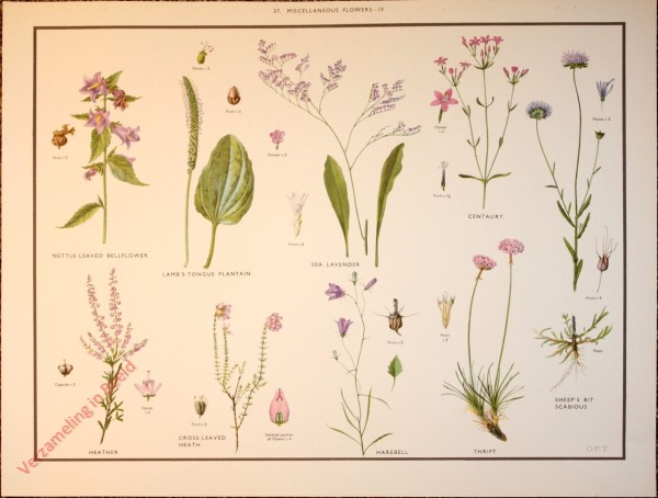 WILD FLOWERS - 37 - Miscellaneous families - IV