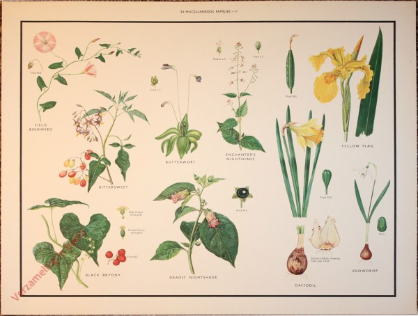 WILD FLOWERS - 38 - Miscellaneous families - V
