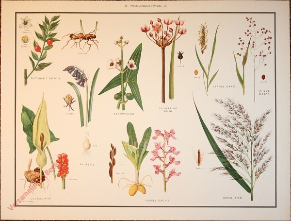 WILD FLOWERS - 39 - Miscellaneous families - VI