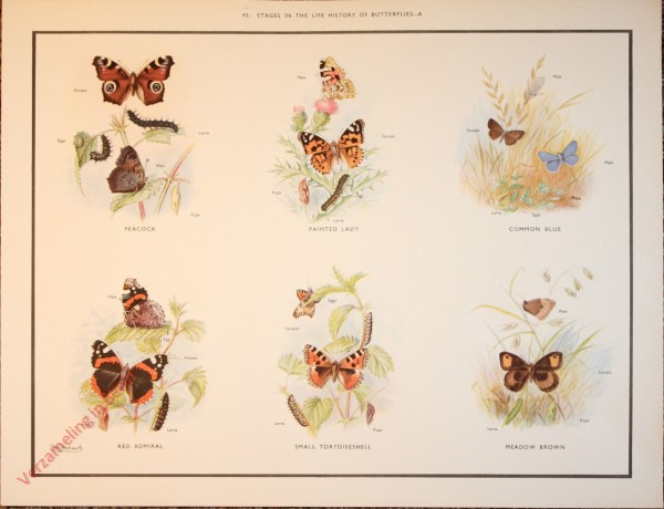 BUTTERFLIES AND MOTHS - 45 - Stages in the life history of butterflies - A