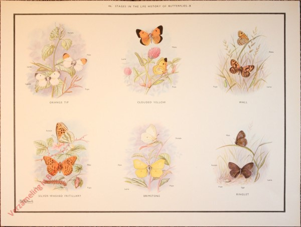 BUTTERFLIES AND MOTHS - 46 - Stages in the life history of butterflies - B