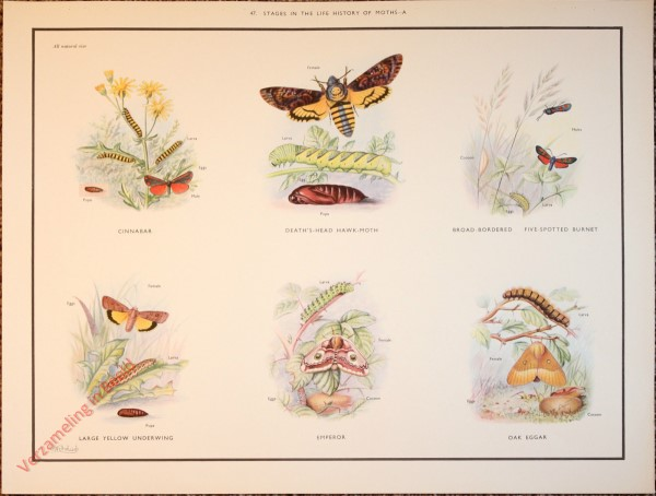 BUTTERFLIES AND MOTHS - 47 - Stages in the life history of moths - A