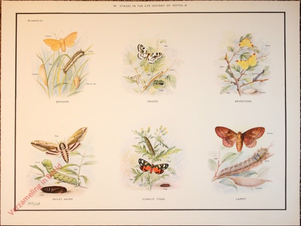 BUTTERFLIES AND MOTHS - 48 - Stages in the life history of moths - B