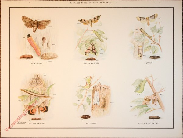 BUTTERFLIES AND MOTHS - 49 - Stages in the life history of moths - C