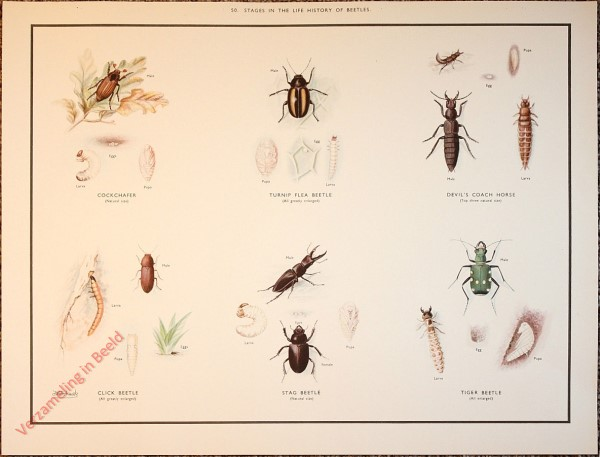 OTHER INSECTS - 50 - Stages in the life history of beetles