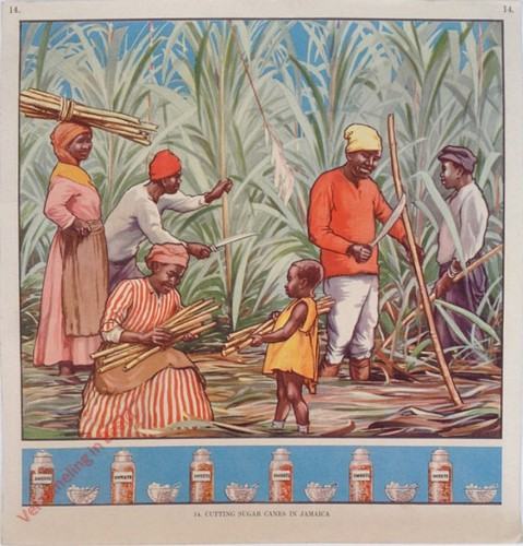 14 - Cutting Sugar Canes in Jamaica