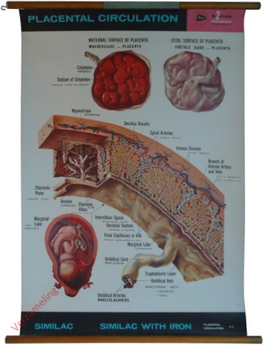 2 - Placental circulation