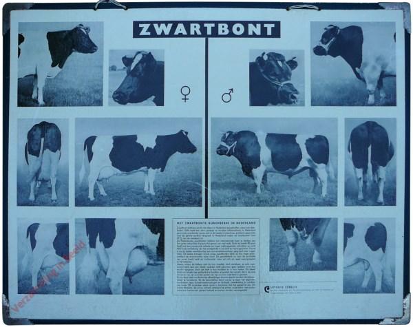 Zwartbont. Het Zwartbonte Rundveeras in Nederland