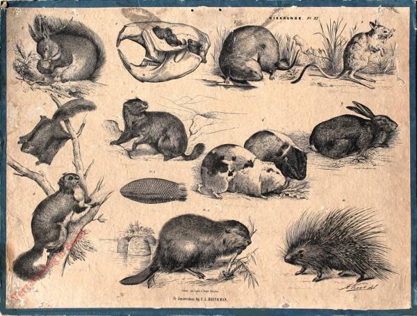 XI - [Gewone inlandsche Eekhoorn, Waterrat, Egyptische Springmuis, Vliegende Eekhoorn, Marmot, Guineesch Biggetje (Cavia), Bever