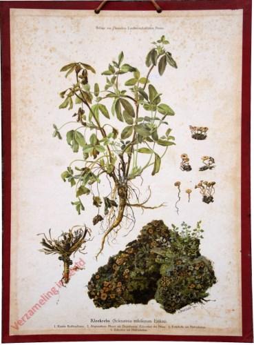 Kleekrebs (Sclerotinia trifoliorum Erikss)