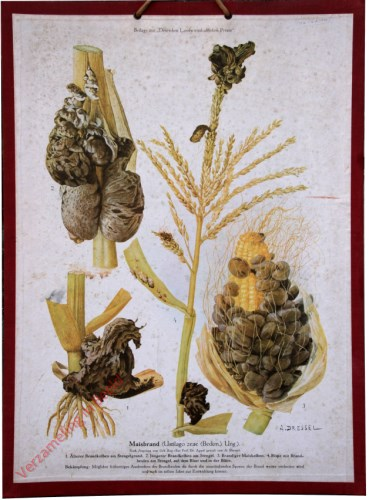 Maisbrand (Ustilago zeae (Beckm. Ung.)