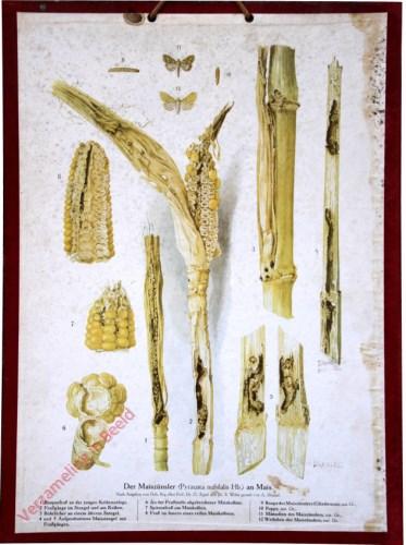 Der Maisz�nsler (Pyrausta nubilalis Hb.) an Mais