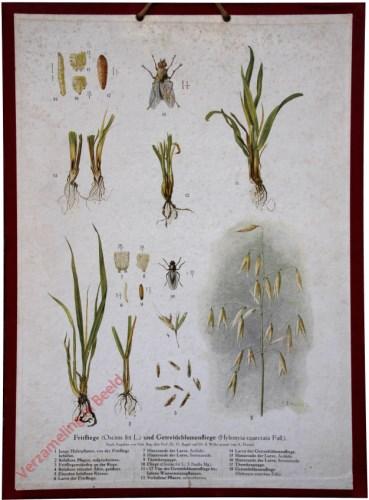Fritfliege (Oscinis frit L.) und Getreideblumenfliege (Hylemyia coarctata Fall.)