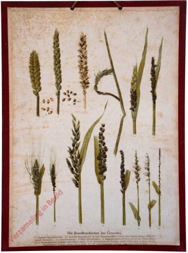 Die Brandkrankheiten des Getreides