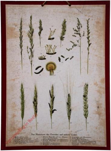 Das Mutterkorn des Getreides und anderer Gr�ser