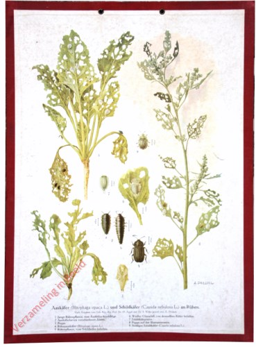 Aask�fer (Blitophaga opaca L.) und Schildk�fer (Cassida nebulosa L.) an R�ben