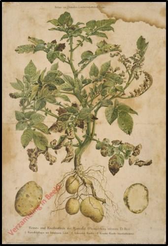 Kraut- und Knollef�ule der Kartoffel (Phyophtora infestans D. By.)
