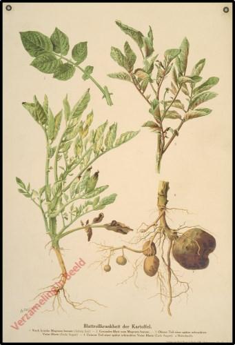 Blattrollkrankheit der Kartoffel