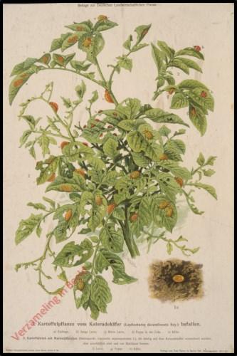Kartoffelpflanze vom Koloradok�fer (Leptinotarsa decemlineata Say.)  befallen
