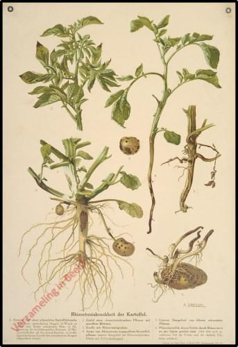 Rhizoctoniakrankheit der Kartoffel