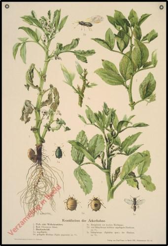 Krankheiten der Ackerbohne