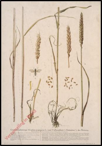 """Getreidehalmwespe (Cephus pygmaeus L.) und Fusskrankheit (Halmt""""ter) des Weizens"""