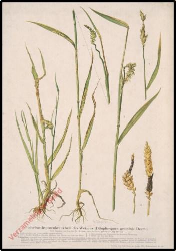 Federbuschsporenkrankheit des Weizens (Dilophospora graminis Desm.)