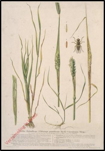 Gelbe Halmfliege (Chlorops pumilionis Bjerk = taeniopus Meig.)