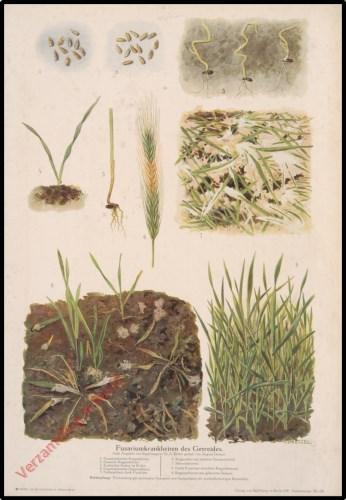 Fusariumkrankheiten des Getreides