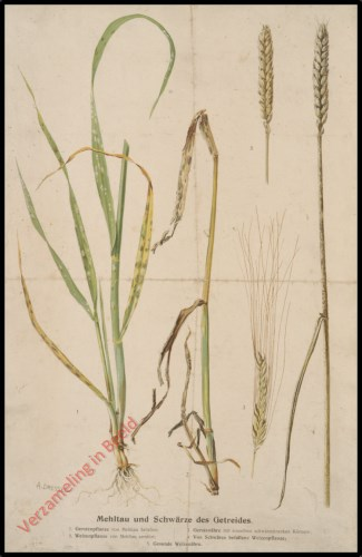 Mehltau und Schw�rze des Getreides