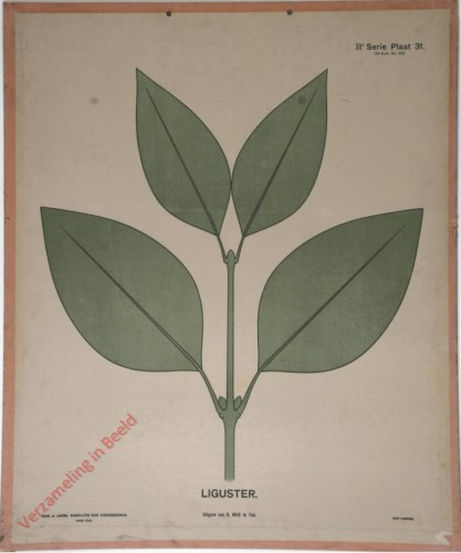 Liguster