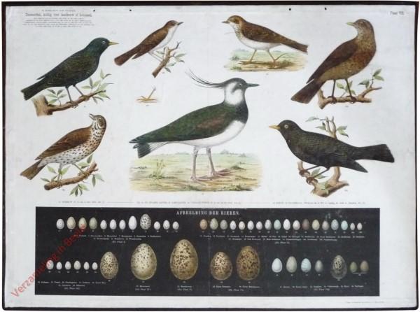 VII - [Zangvogels, Kieviet, eieren]