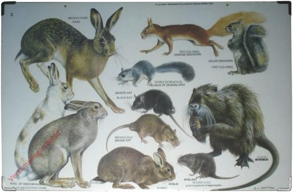 2 - Grote knaagdieren en lagomorphen