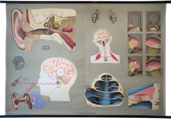 5 - Das Gehör und der Gleichgewichtssinn