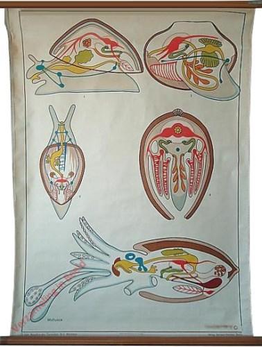 4 - Weichtiere (Mollusca)