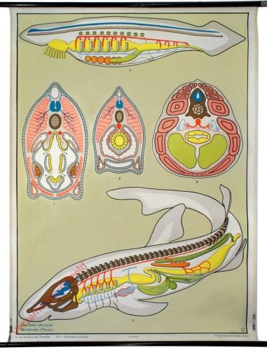 6 - Chordatiere und Fische. Chordata (Acrania), Vertebrata (Pisces)