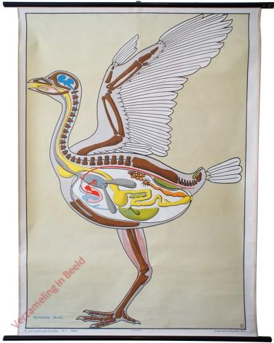 7 - Vögel. Vertebrata (Avis)