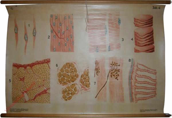 4 - Muskelgewebe